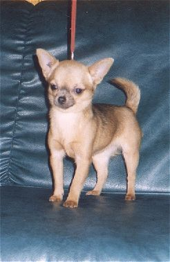 LE CHIHUAHUA - Page 2 Opaline_h378